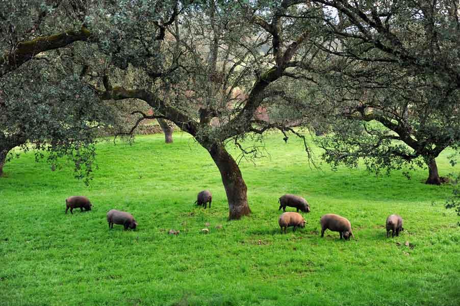 Piara de cerdos ibéricos en dehesa